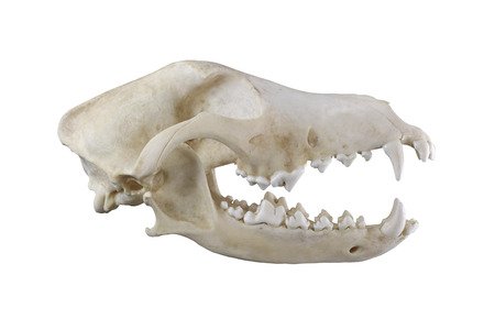 Dog skull  isolated on a white background