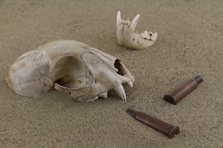 casings: Animal bobcat skull bones and bullet casings in desert sand. A bottom jaw separated out and partly buried. Old bullet casings sleeves are scattered around. Focus on skull. Two 7.62 mm caliber rifle old sleeves bullet casings are used.