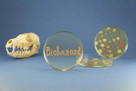 Fox skull and two petri dishes disposed behind of petri plate with biohazard inscription is maded up by living orange bacterial colonies on the blue background. Focus on petri plate with biohazard inscription. Oil-degrading cultures used for bacterography
