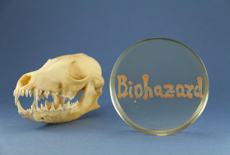 Fox skull disposed near petri plate with biohazard inscription maded up by living orange bacterial colonies on the blue background. Focus on agar surface and animal fangs and cutting teeth. Oil-degrading culture used for bacterography. Stock Photo