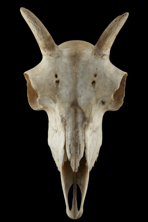 sheep warning: Wild sheep skull fullface isolated on a black background. Skull with horn. Stock Photo