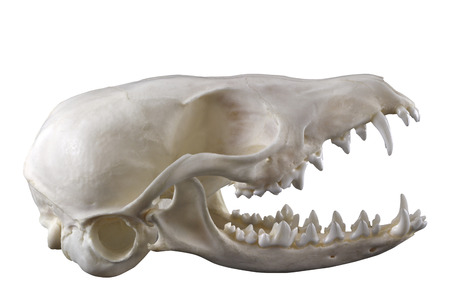 animal skull: Skull of desert fox fennec Vulpes zerda isolated on a white background by pen tool. Lateral view. Opened mouth. Focus on full depth.
