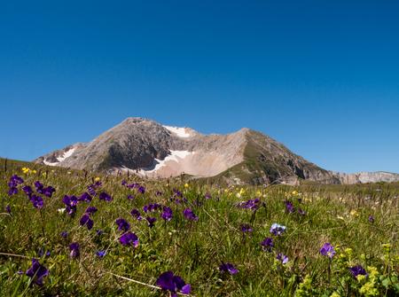 plateau of flowers: Oshten mountain among the flowers Viola species in the summer. Lago-Naki plateau, Caucasus, Russia. Stock Photo