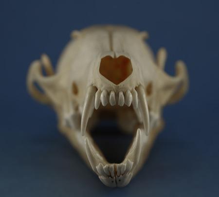 denti anteriori zanne e denti di taglio di volpe cranio da vicino sul colore di sfondo sfocato. Focus su zanne e denti di taglio.