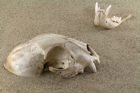 empty tomb: Skull of bobcat lynx is half-buried in sand. A bottom jaw separated out and partly buried. Old bullet casings sleeves are scattered around. Focus on skull. Stock Photo