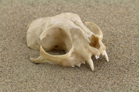 Skull of cat is half-buried in desert sand. Focus on front of skull. Stock Photo