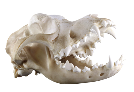 cynology: Skull of purebred Saint Bernard dog isolated on a white background. Diagonal view. Opened mouth, ideal condition of teeth and bones. Sharp isolation by pen tool. Focus on full depth.