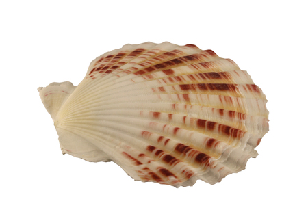 exemplar: The conch of bivalve mollusk isolated by pen.