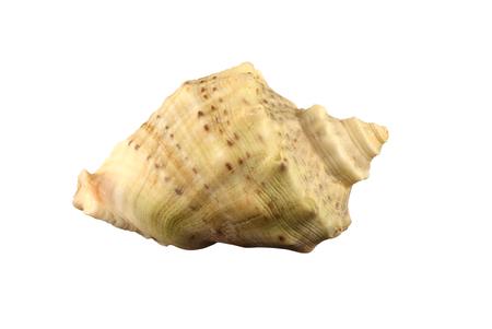 Exemplar: The conch of gastropoda mollusk Rapana thomasiana isolated Stock Photo