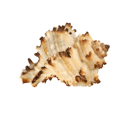 Exemplar: Angulate shellfish close-up isolated