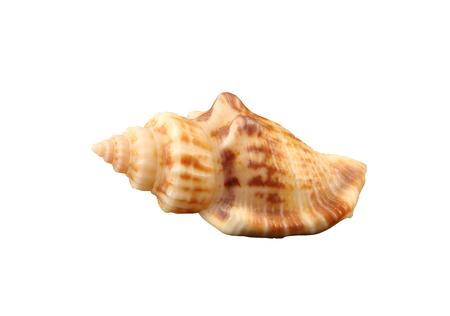 gastropoda: The small rigid conch of gastropoda mollusk isolated by pen. Stock Photo