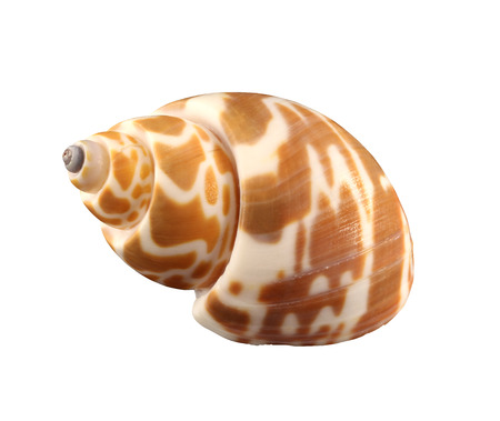 exemplar: Stripped conch of gastropoda mollusk isolated by pen Stock Photo