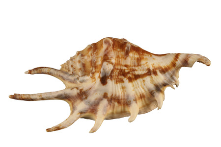 exemplar: The angular conch of gastropoda mollusk isolated by pen. Stock Photo
