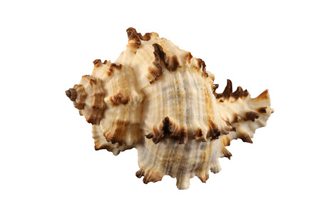 The conch of gastropoda mollusk isolated by pen.