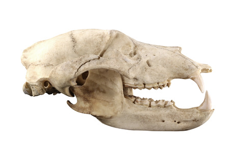 Big brown bear (Ursus arctos) old skull isolated on a black background. Isolation by pen tool. Lateral view. Focus on full depth.