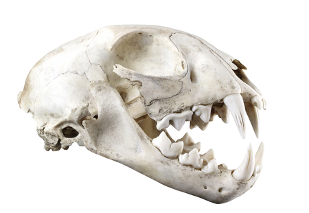 Skull of bobcat  (Lynx lynx) lateral view isolated on a white background. Fully opened mouth. Sharp isolation by pen tool. Stock Photo
