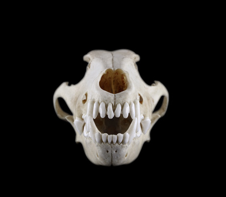 raptorial: Skull of dog breed the fox terrier front view isolated on a black background. Focus on fangs. Stock Photo
