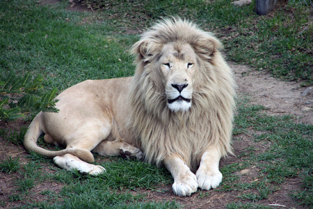 Elegant and beautiful white lion sitting quietly in South Africa photo
