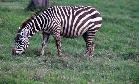 mara: Attractive zebra in the Masai Mara reserve in Kenya Stock Photo