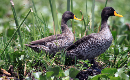 yellow-billed duck couple in by the lakeside in Kenya photo
