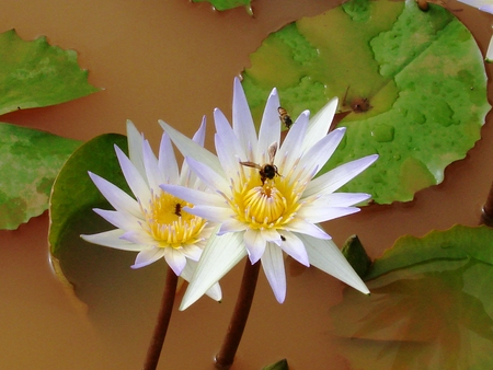 A beautiful pair of white lotus in a pond. Honeybees sitting on its nectar makes them look even better photo