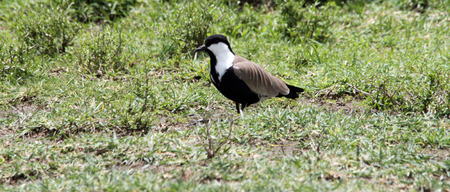 spur winged: cute spur winged plover on the grass by the side of tented camps in Kenya