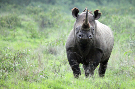 while we were about to finish our safari in the jungles around Lake Nakuru in Kenya, the rhino spotted us!