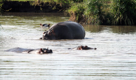 A group of hippos enjoying the lake water for hours in Kenya photo