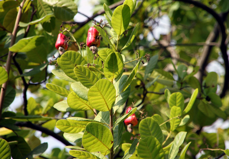 eye catching: Eye catching red cashew fruits hanging on a tree