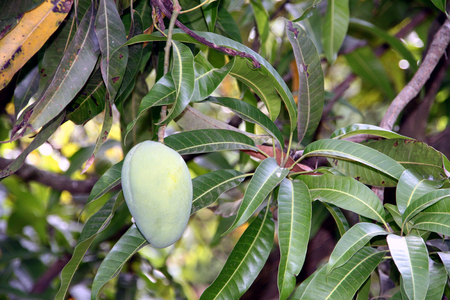 eye catching: eye catching mango hanging on a mango tree. ITs fresh green color with reddish tinge Stock Photo