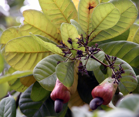 cashew tree: Close-up view of beautiful and juicy cashew fruits with nuts on a tree in a farm
