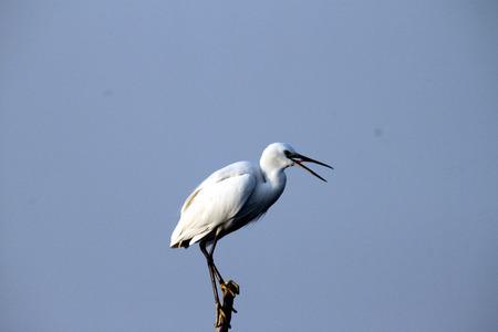 beak: cute n white stork with his long black beak open