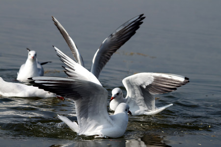 water wings: Seagulls gathered to look for food in the lake water. Their spread wings and the waves that they created in waters is an amazing watch