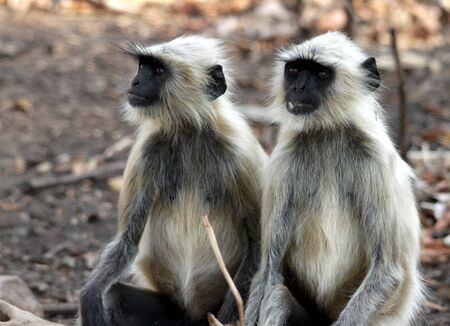 Two monkeys sitting close-by in the jungle and watching something with focus