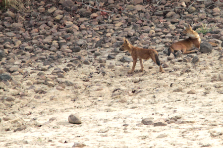curiously: Wild dogs looking at the same direction curiously