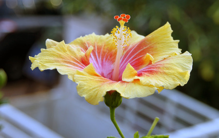 quite: Large sized hibiscus flower with a unique yellow colored petals. They have a nice mixture of yellow and red color. One feels quite fresh in the company of such flowers Stock Photo
