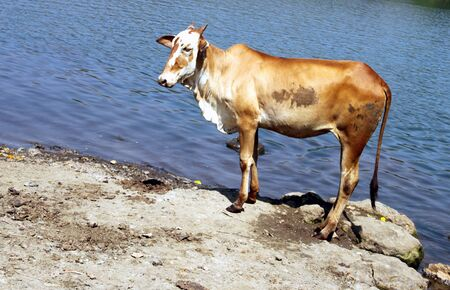 Cow standing by the river, possibly waiting to enter in it