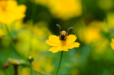 goldy: A bee busy drinking nectar from the flower Stock Photo