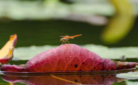 trithemis: Resting red dragonfly on leaf  in morning nature