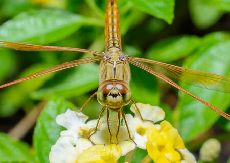 dropwing: Resting red dragonfly on flower Stock Photo