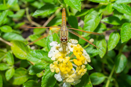 dropwing: Resting orange dragonfly on flower in morning Stock Photo