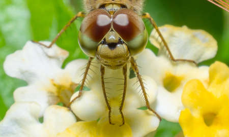 dropwing: close up  dragonfly on flower Stock Photo