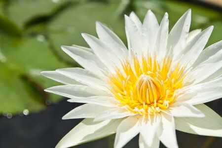 White Lotus in the garden - pathumthanee Thailand Stock Photo - 8099370