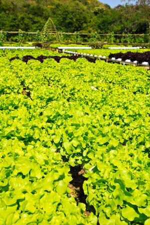 Hidroponic plant of Lettuce photo