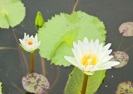 White Lotus in the garden - pathumthanee Thailand Stock Photo - 9104643