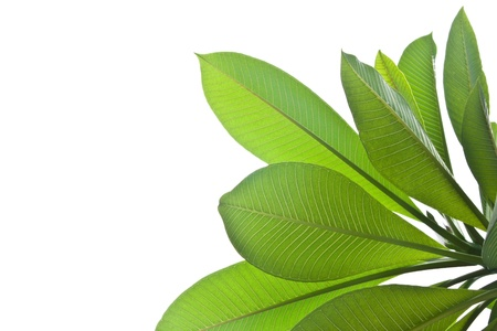 Plumeria leaves isolated on white background.