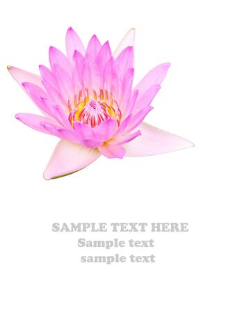 Purple Lotus Isolate on white background photo