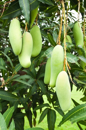 Green Mango with leaves on tree photo