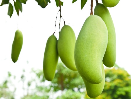 Green Mango with leaves on tree Stock Photo