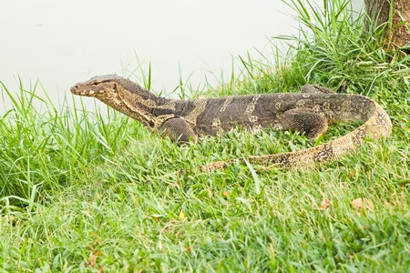 the amphibious: giant lizard amphibious reptile , useful for biological and zoological field of study Stock Photo